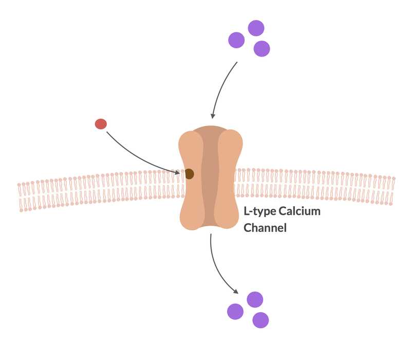 CCB mechanism of action