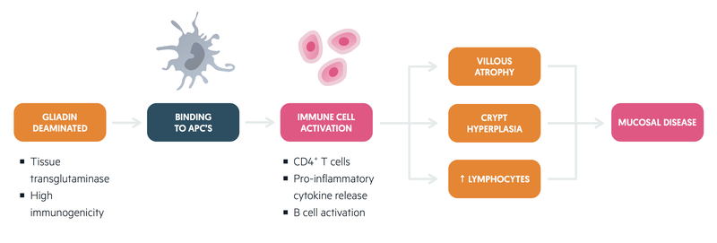 Pathogenesis of coeliac disease