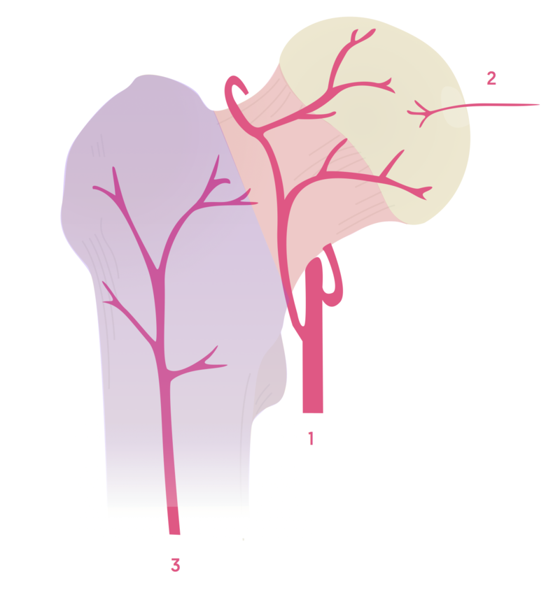 Blood supply to the femoral head and neck