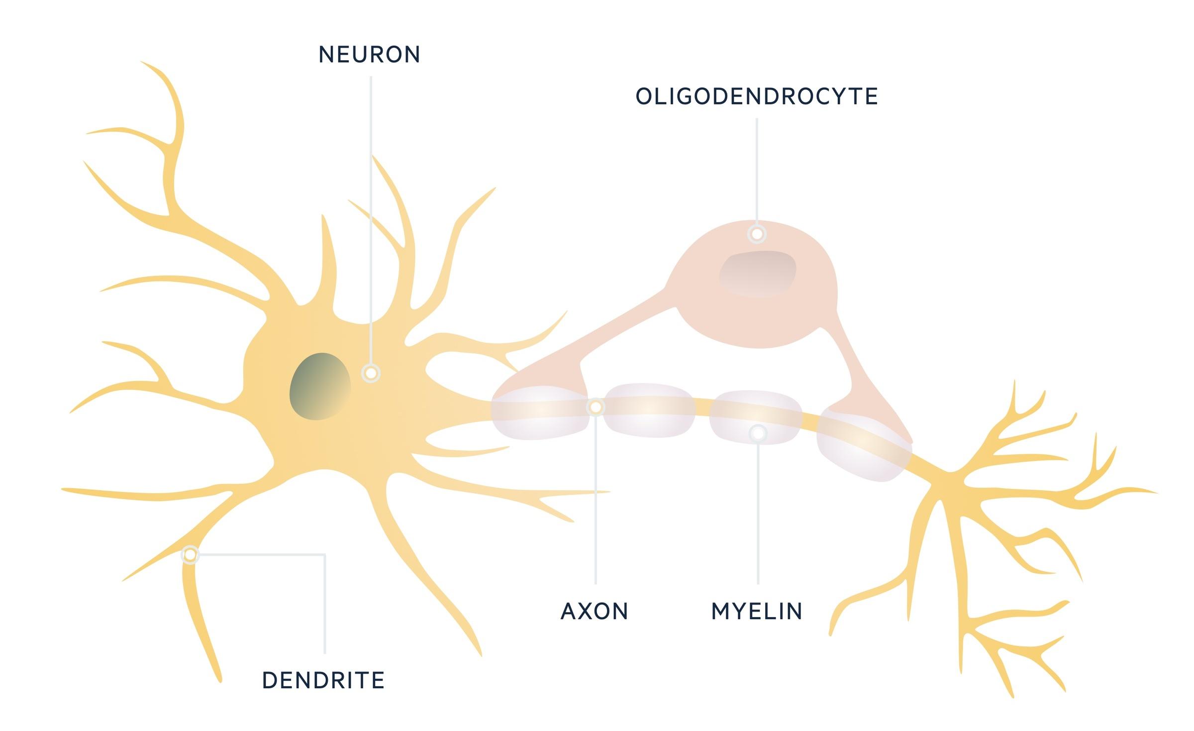 Neuron and oligodendrocyte