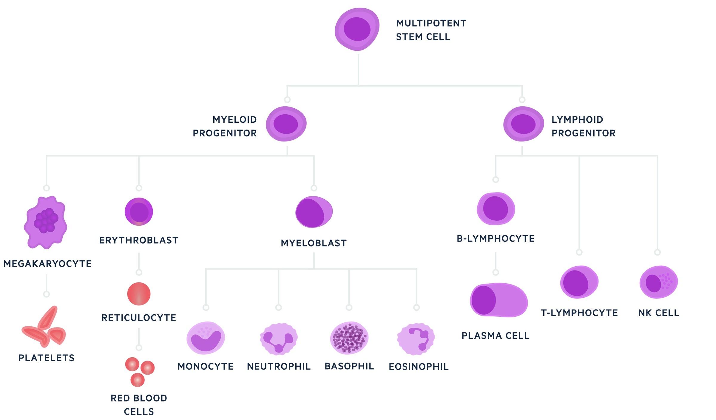 Haematopoiesis