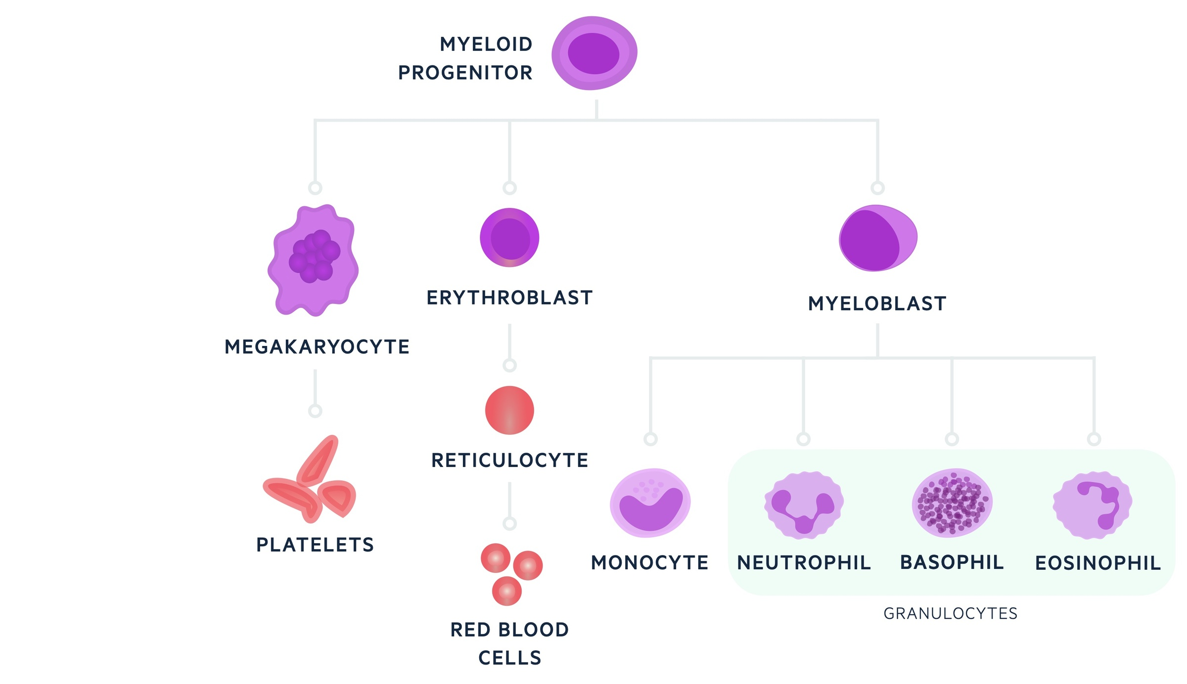 Myeloid lineage