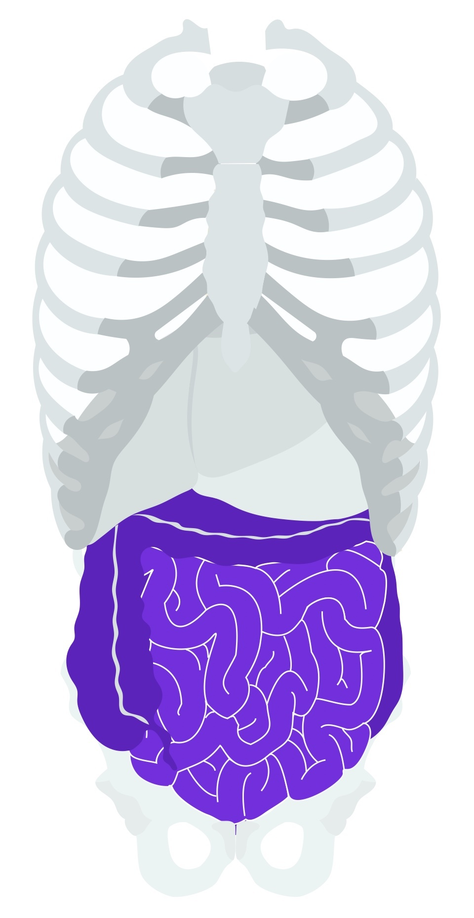 Graphic of the large and small bowel