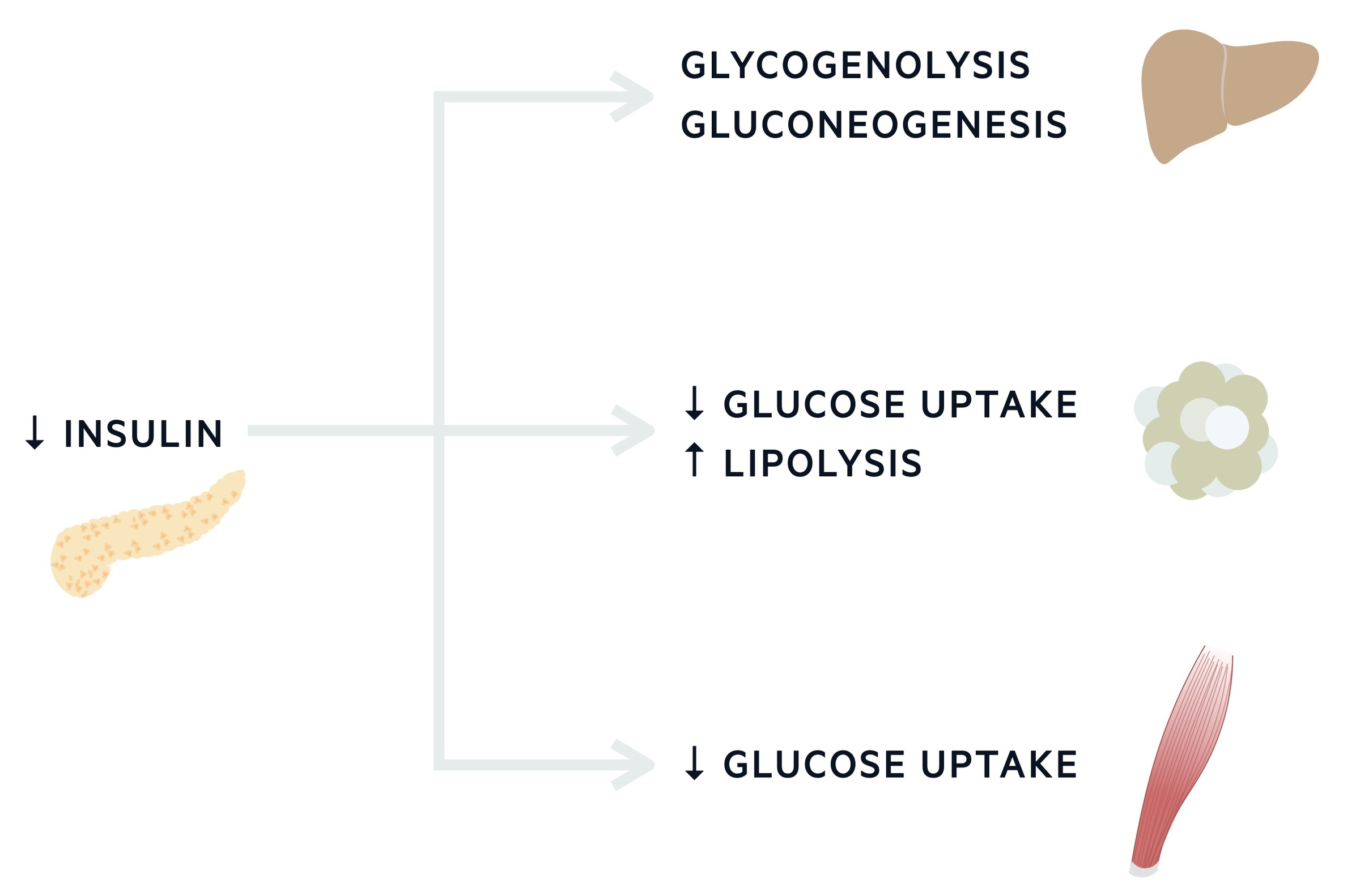 Glucose & insulin during fasting