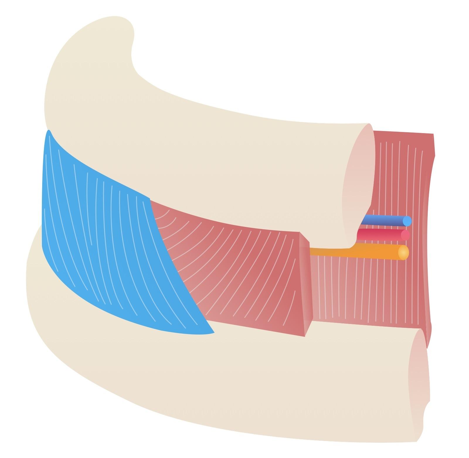 External intercostal muscle anatomy