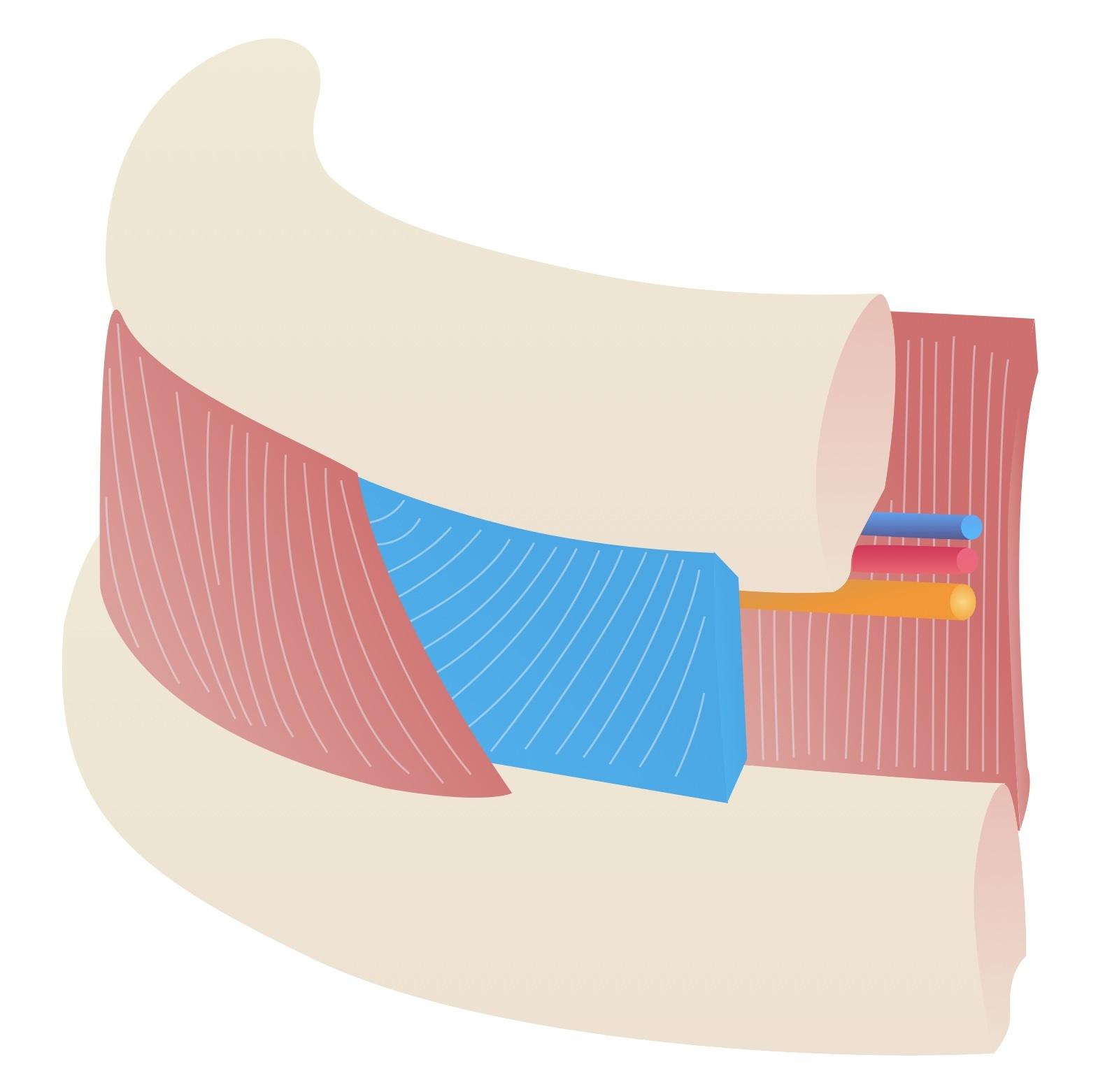 Internal intercostal muscles