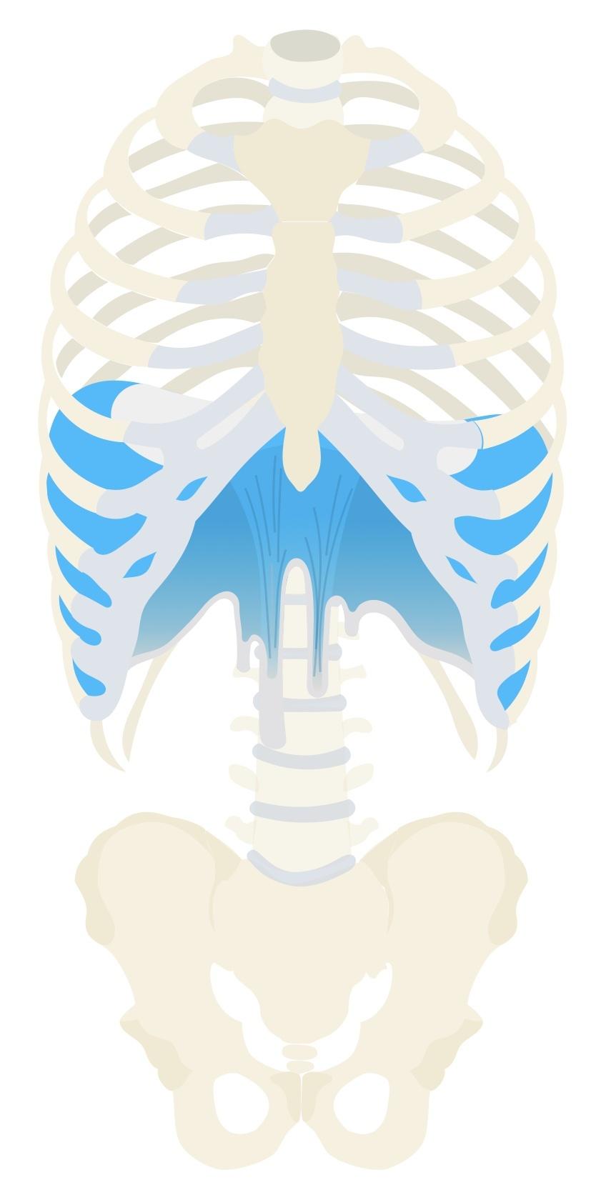 Diaphragm anatomy