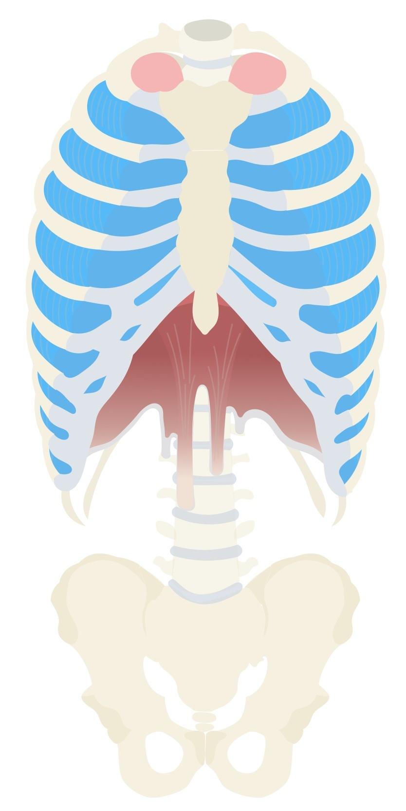 External intercostal anatomy