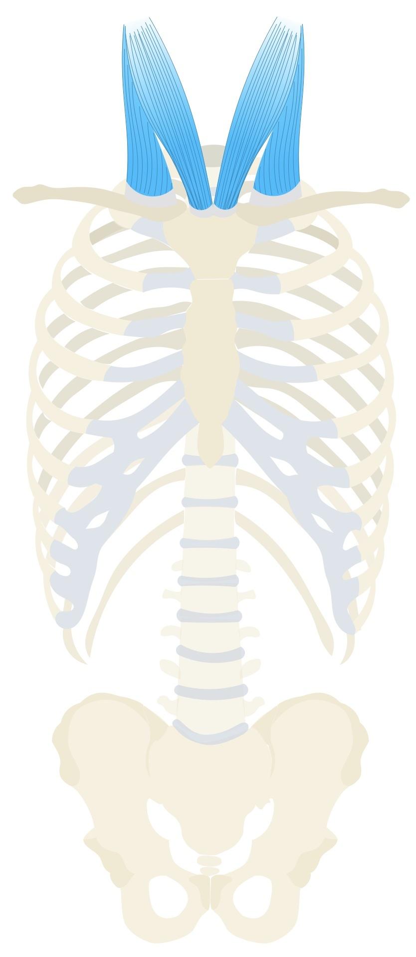 Sternocleidomastoid muscle anatomy