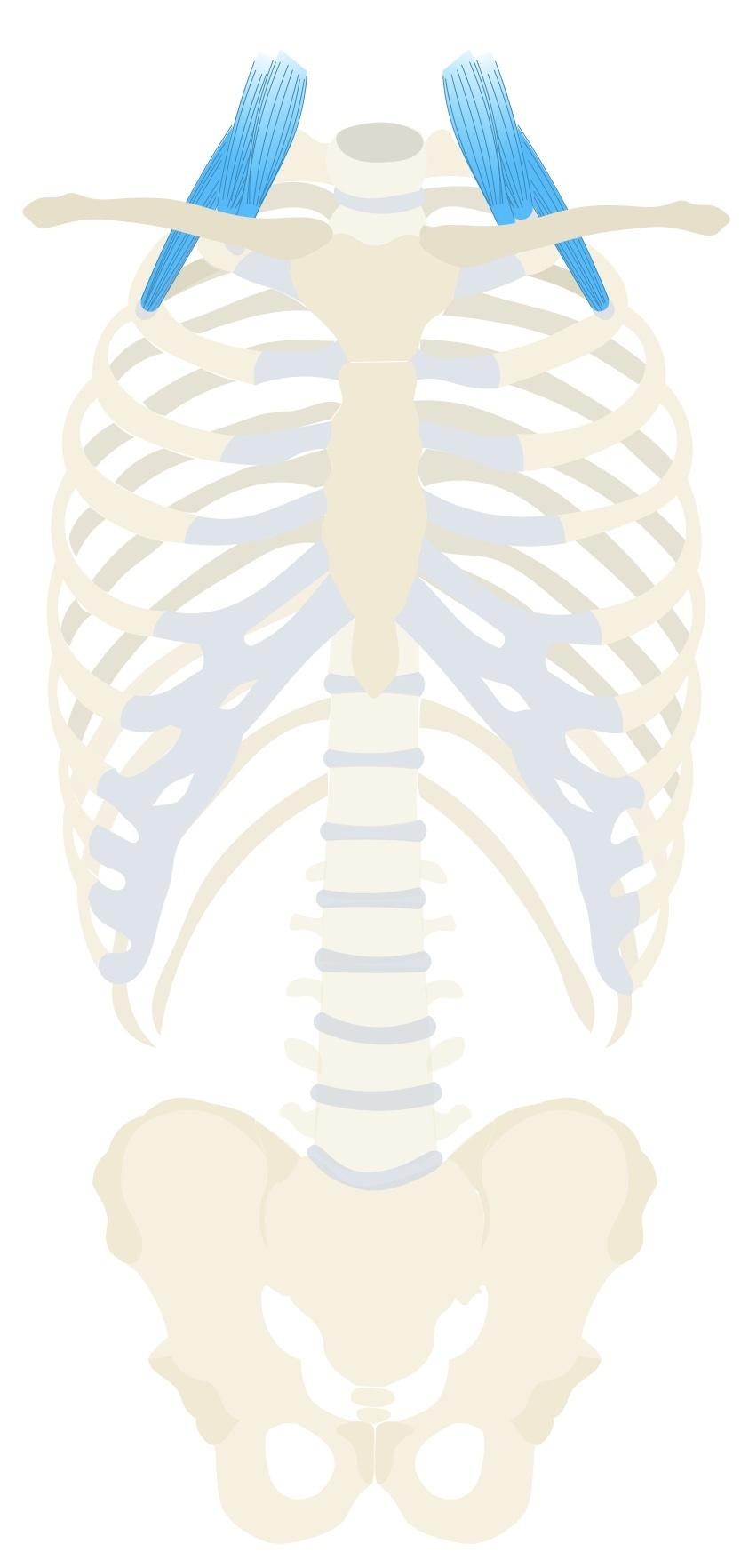 Scalenes anatomy