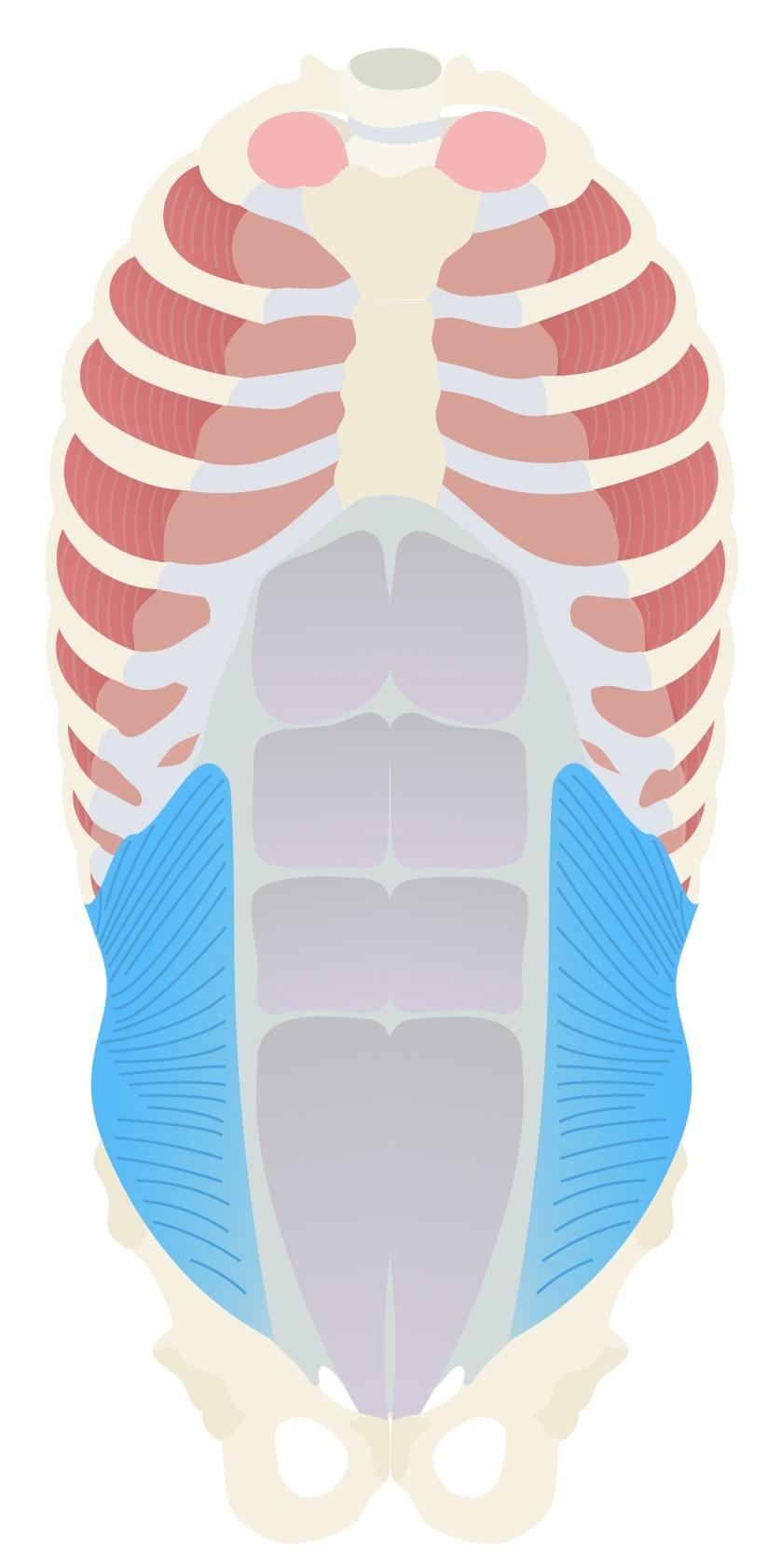 Internal oblique anatomy