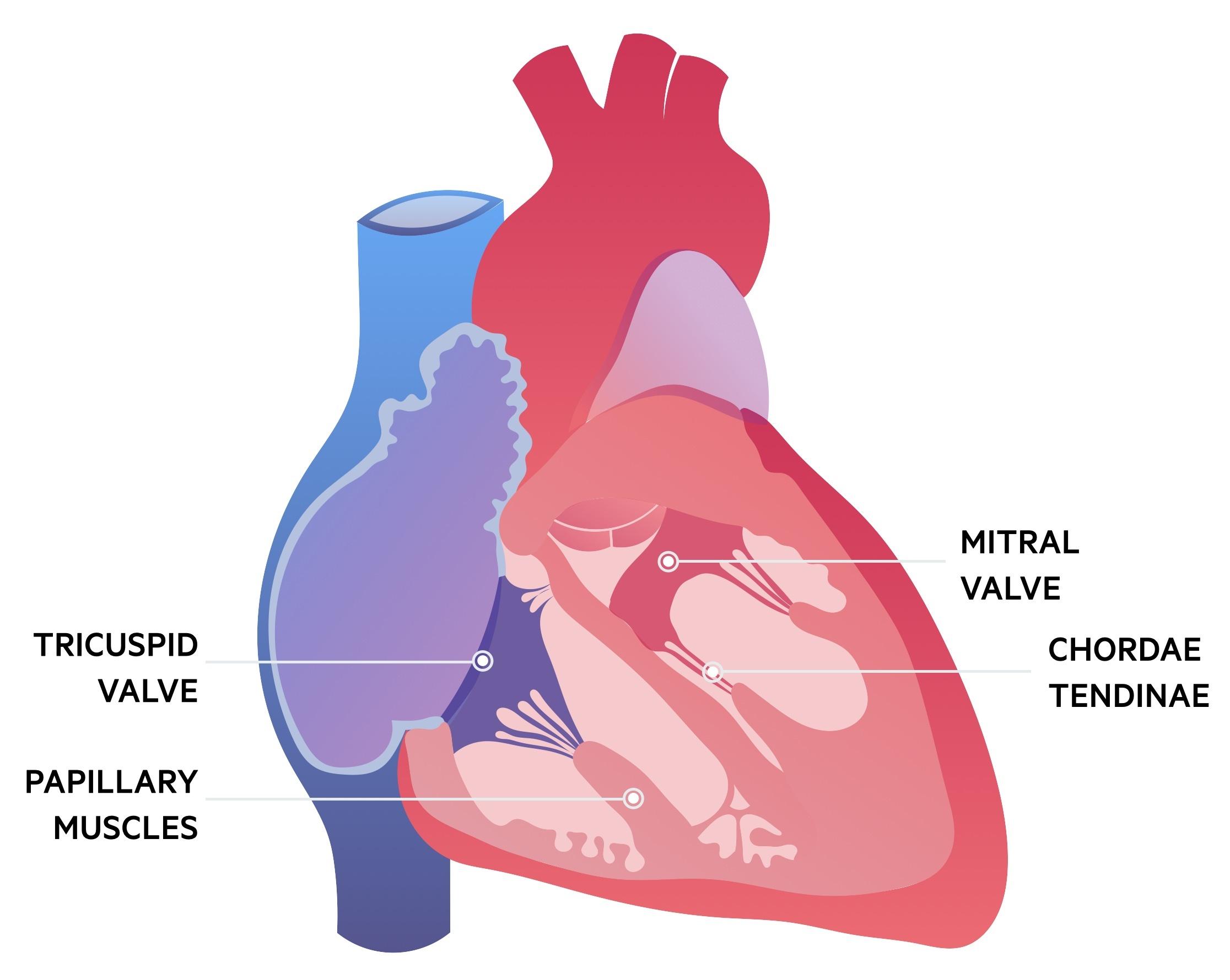 Mitral valve anatomy