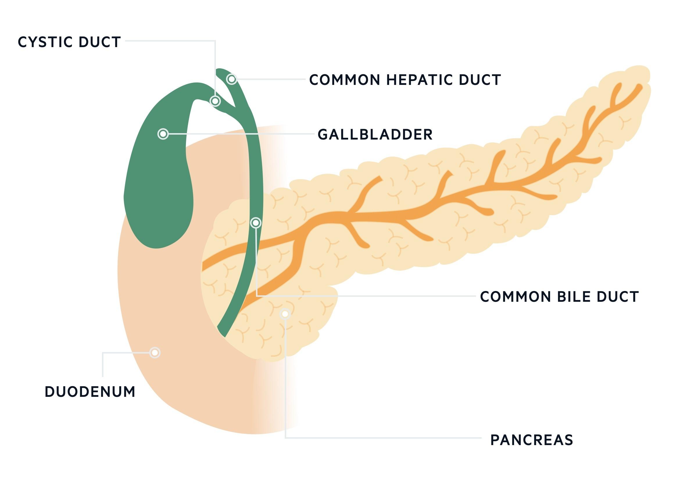 Biliary tree anatomy