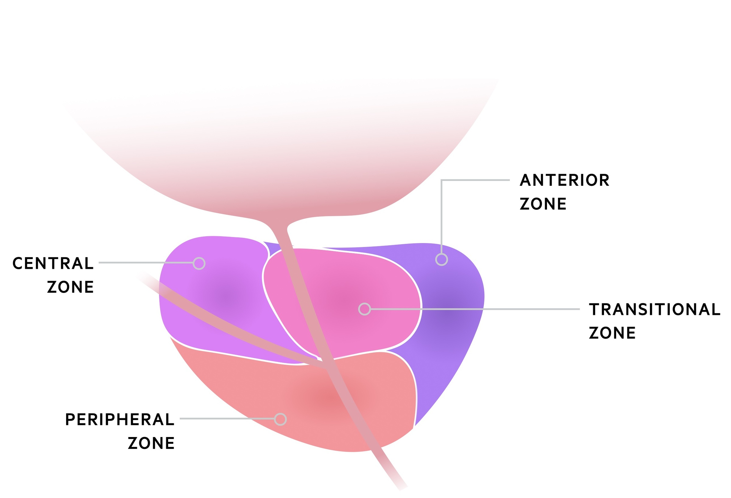Prostate zone