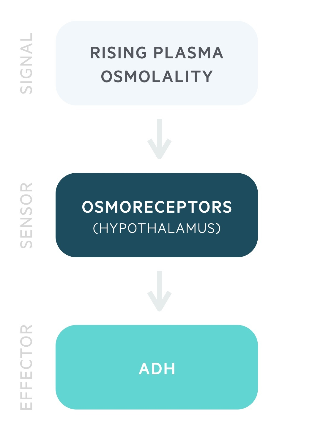 Physiology of ADH release