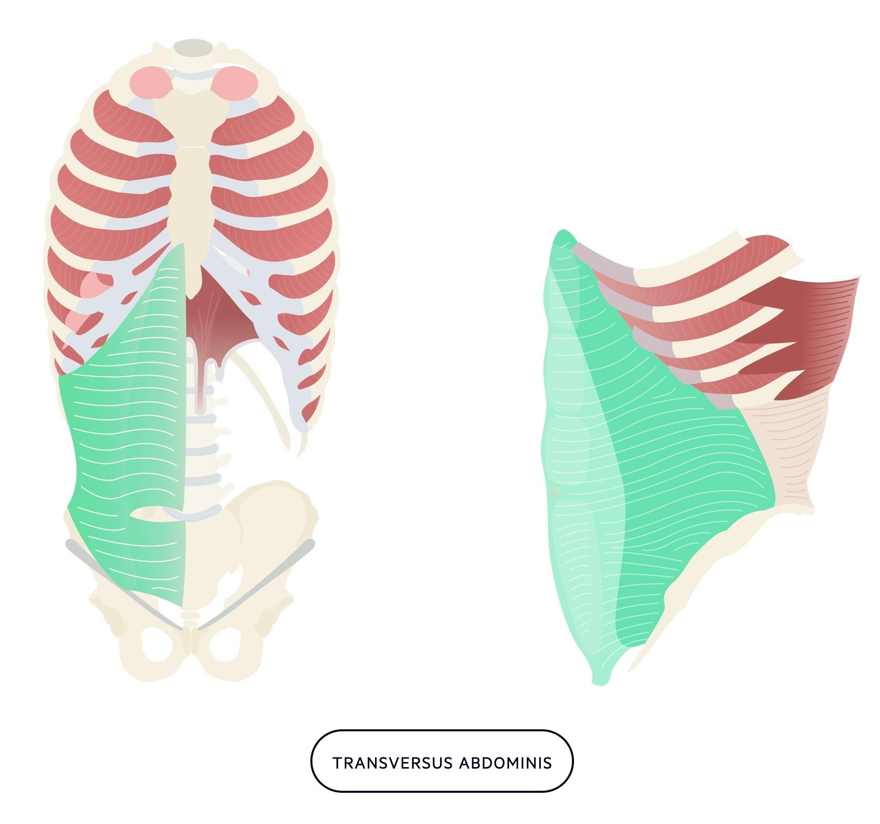 Transversus abdominis muscle