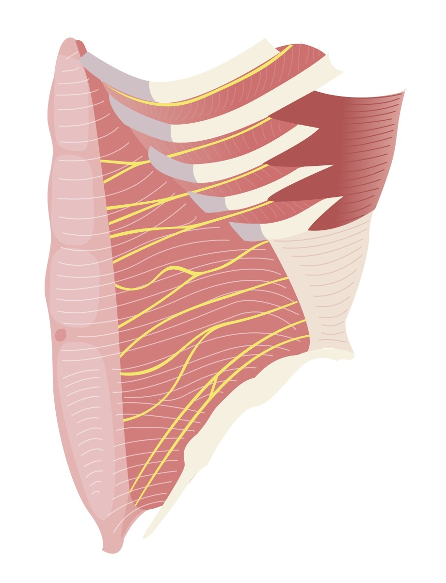 Innervation of abdominal wall