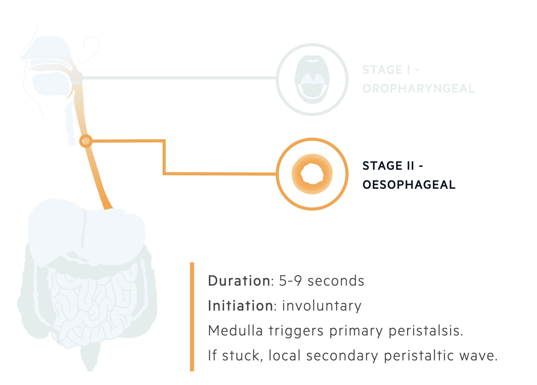 Oesophageal stage of deglutination