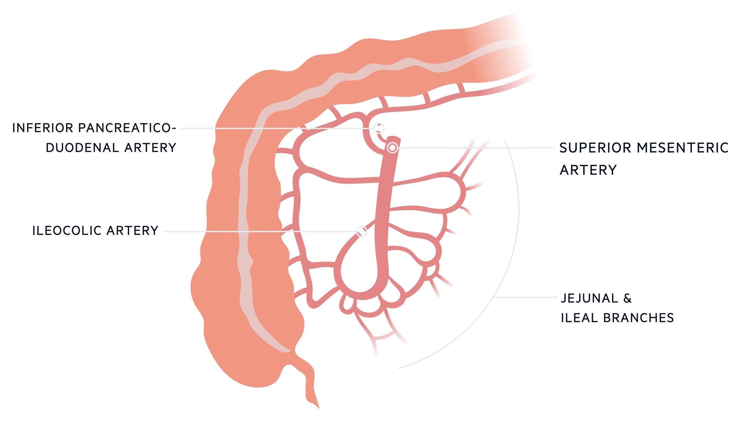 SMA supply to small intestines