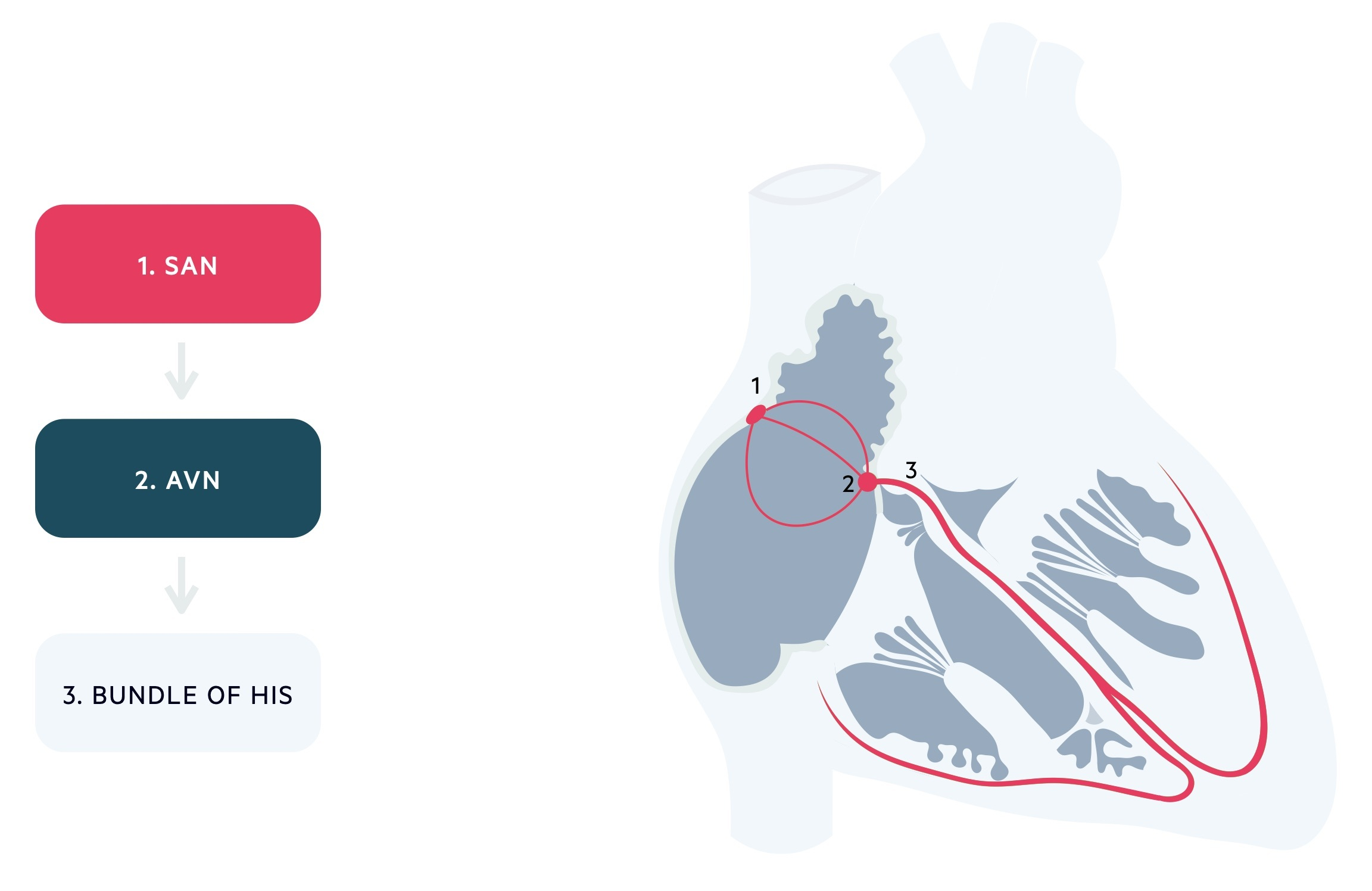 Conduction pathways of the heart