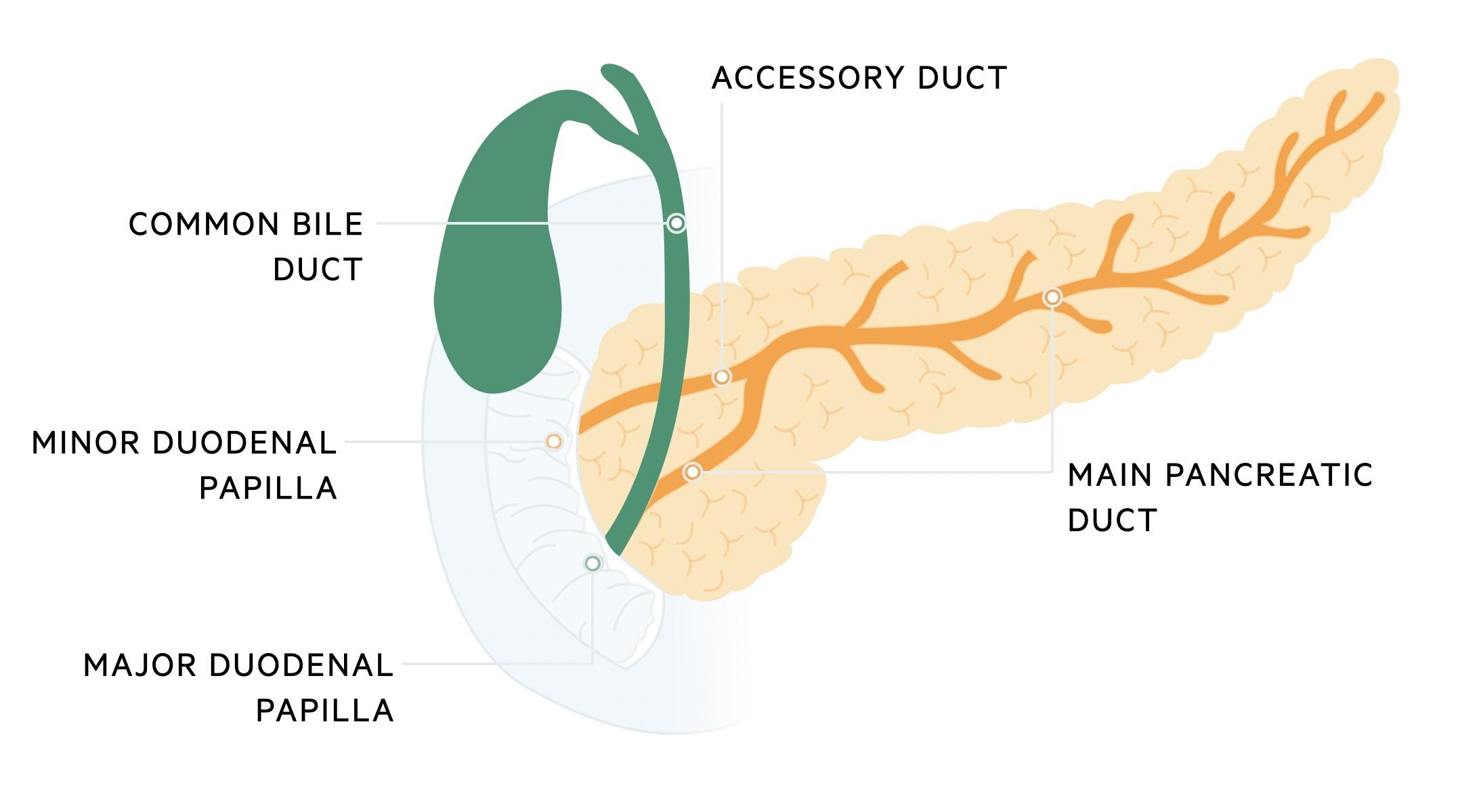 Pancreas ductal anatomy