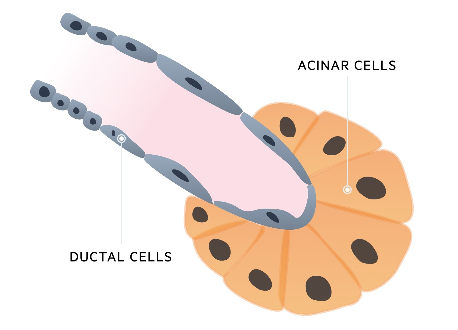 Ductal and acinar cells